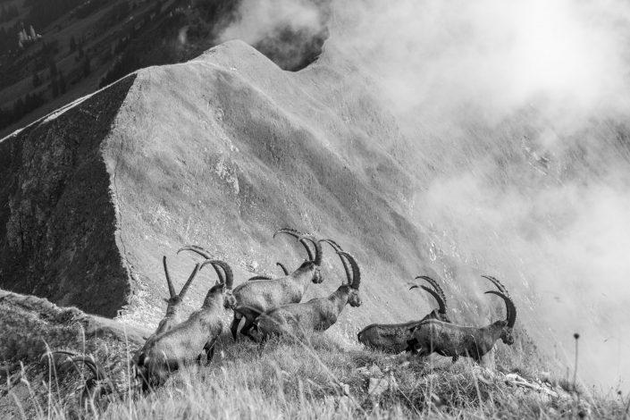 Berner Oberland, Steinböcke, Steinbock, König der Alpen, Ibex, Säugetiere, Winter, Alpentiere, Naturschutz, Tiere, Wildtiere, Augstmatthorn, Augstmatthorn Steinböcke, König der Alpen, Rudel Steinböcke im Berner Oberland, Schweiz, Kanton Bern, Berner Oberland, Jungfrau Region, Lauterbrunnental, Steinbock, Steinböcke, Mürren, Mürren Gämse, Schilthorn, Mürrenbahn, Birg , National Geographic, Fotograf, Storyteller, Naturschutz, Gämse, Gamskits, Alpentiere, Tiere der Alpen, freilebende Tiere, Tiere, Säugetiere, Berge, Eiger, Mönch, Jungfrau
