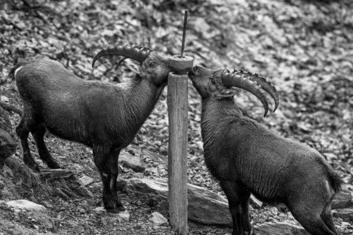 Jonas Schäfer Fotografie Spiez Berner Oberland Jungfrau Region Tiere Tierfotografie Wandbilder Steinböcke Steinbock