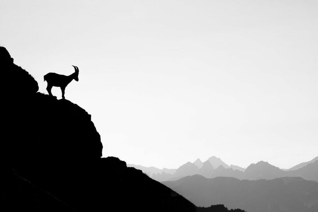 Tierbilder_Steinbock_Steinböcke_Gämse_Tierfotografie_Schweiz_Berner_Oberland