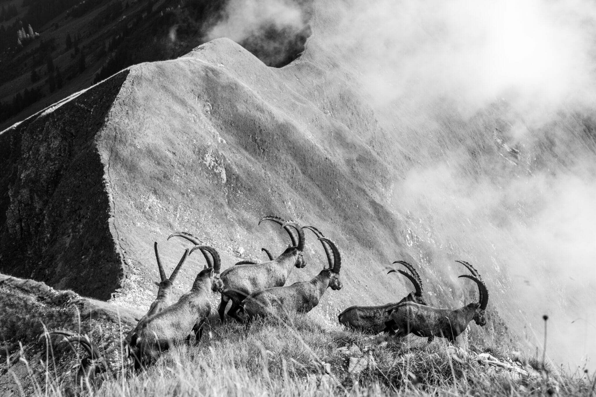 Jonas Schäfer Fotografie Spiez Berner Oberland Augsmatthor Tiere Tierfotografie Wandbilder Steinböcke Steinbock