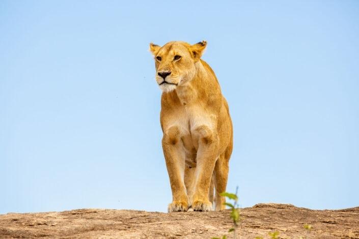 Jonas Schäfer Fotografie Spiez Berner Oberland Afrika Masai Mara Tiere Tierfotografie Löwen