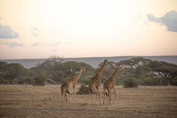 Jonas Schäfer Fotografie Spiez Berner Oberland Afrika Masai Mara Tiere Tierfotografie Giraffe Giraffen