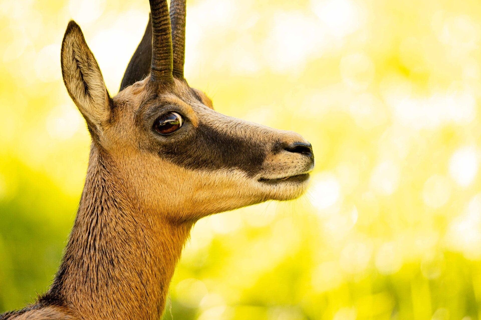 Gämse_Tierbilder_Tiere_Jonas_Schäfer_Fotografie_Jungfrau_Region_Berner_Oberland_3